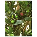 Europalms Olive tree with fruits, 2-trunks, 165cm, Sztuczne drzewo 4/5